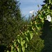 Calystegia sepium (Hedge Morning Glory) by birdgal5