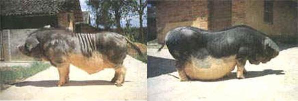 Thu, 01/19/2006 - 10:42 - Hang pig breed