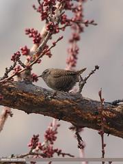 Winter Wren (Troglodytes troglodytes)