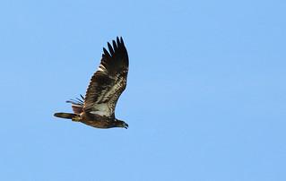 Juv. Bald Eagle