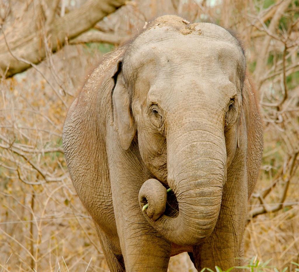 Asian elephant (Elephas maximus)_13