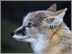 Corsac Fox / Steppenfuchs