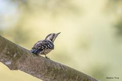 03小啄木鳥