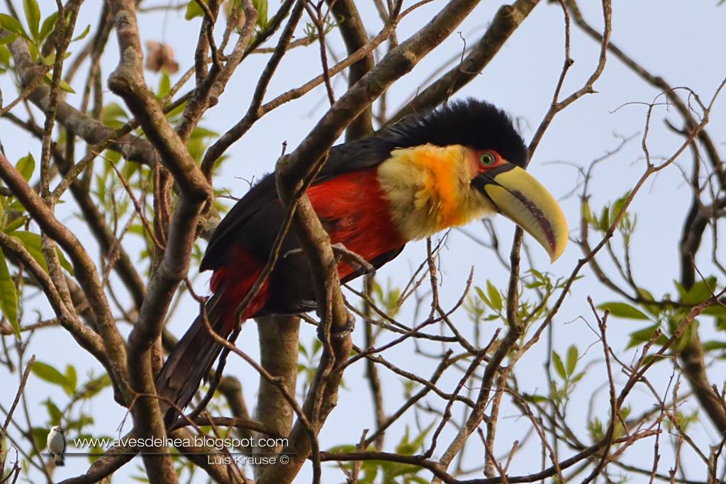 Tucán pico verde (Red-breasted Toucan) Ramphastos dicolorus