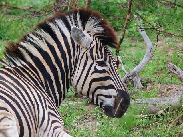 Cebra en Sabi Sand (Parque Kruger de Sudáfrica)