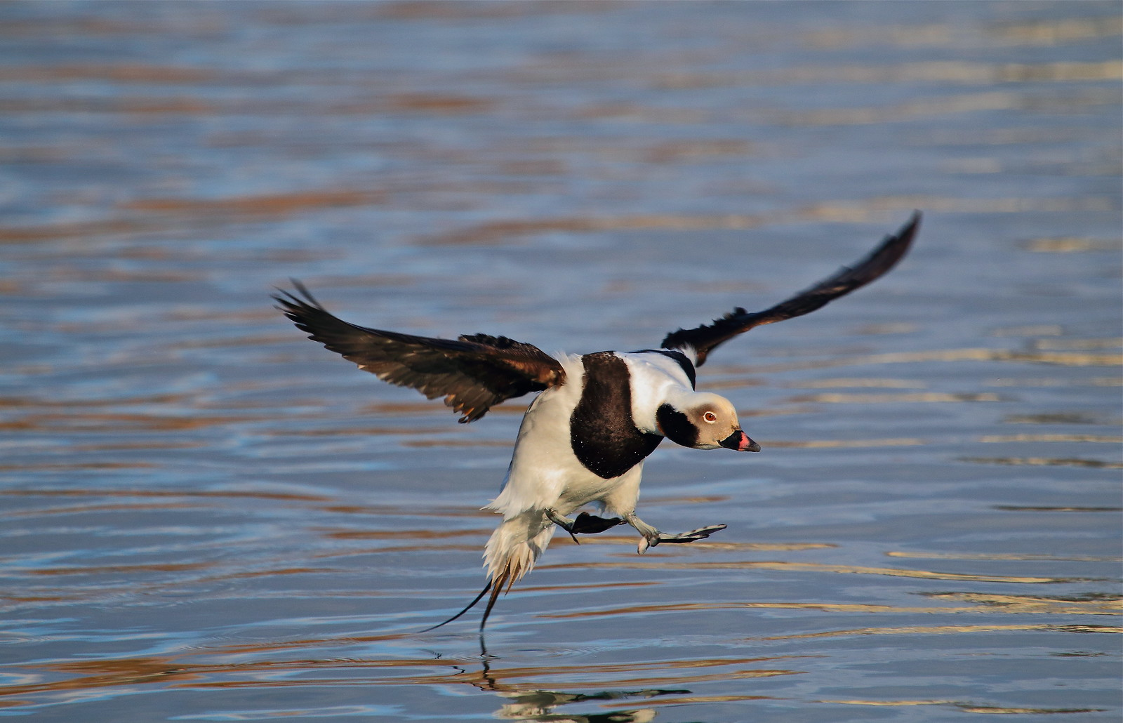 ~緊急迫降~Long Tailed Duck