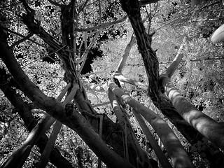 Infrared Banyan Tree