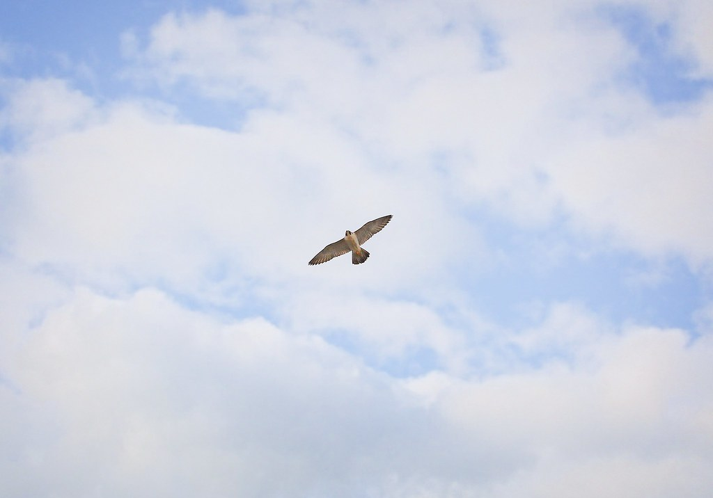 Peregrine falcon over Tompkins Square