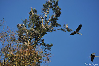 2015-03-05 March Point Great Blue Heron Rookery (1024x680)