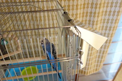 Budgerigar_Ico_(2014_11_12)_3 青いセキセイインコが籠の中の止り木に止まっている写真。籠の向かって右側面にアルミ板で作られた囲いと屋根が付けられたヒーターが取り付けられている。