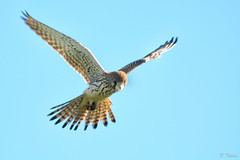 harrier, animal, hawk, bird of prey, wing, fauna, buzzard, accipitriformes, beak, bird, flight,