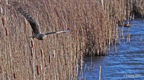 life nature water birds animals canon reeds flying cheshire flight conservation aves raptor ave 7d wetlands marsh protection oiseaux harrier wirral rspb reedbeds burtonmere