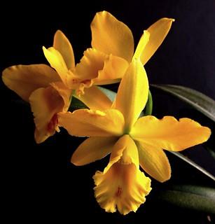 Cattleya MericloneBlc. Husky Boy ' Romeo' BM/JGP'99 (Blc. Evergreen x Lc. Orglade's Glow).
