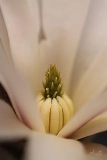 Coeur de Magnolia ..