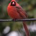 Cardinal by Scriblerus