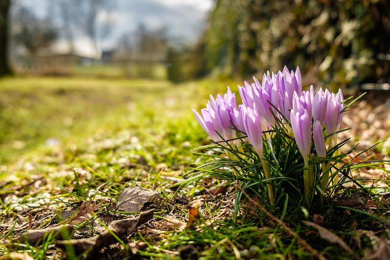 Krokos flower
