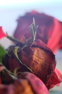 Fuji x-m1 new macro rose