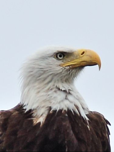 Bald Eagle new female 4-20150227