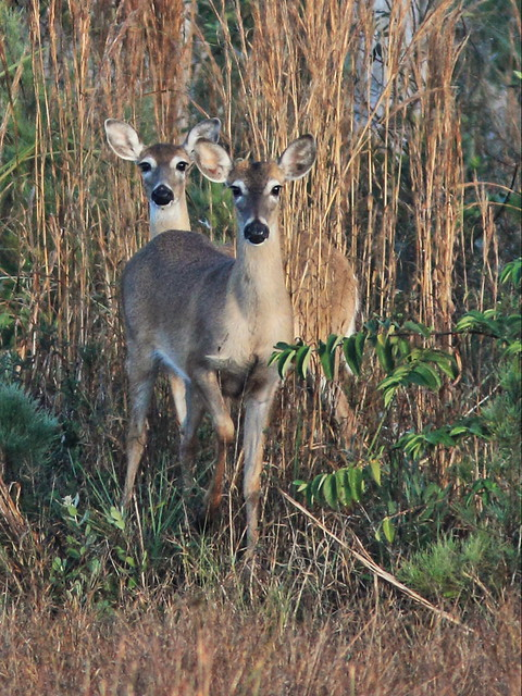 White-tailed Deer 4-20150303