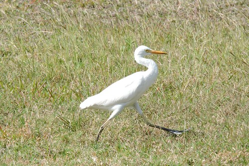 Cattle Egret #38 Life #117