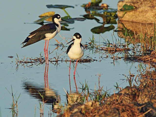 Black-necked Stilts 02-20150315
