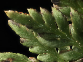 2015-02-28-11.34.48 ZS PMax Aspidotis californica-1