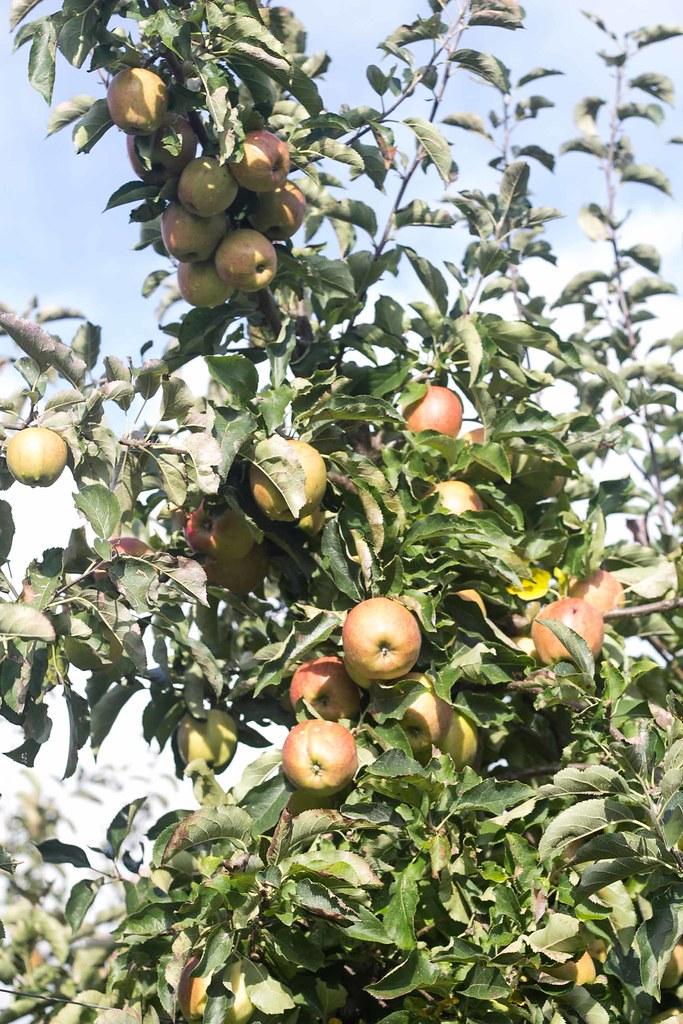 Æblemost (15)