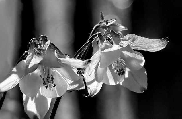 against bars, two white columbines - aquilegia - lit by the sun, black&white, Aberdeenshire, Scotland