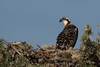 Juvenile Osprey sitting on the edge of its nest by george.julin