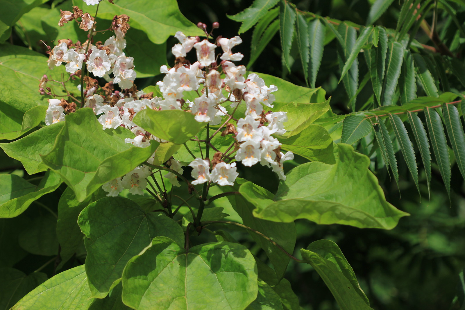 Flowering India Bean Tree near Ashurst Station