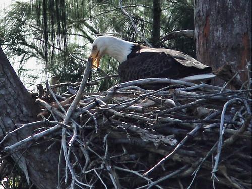 Bald Eagle male moving stick 2-20141212