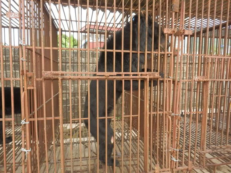 A skeletal bear at Cau Trang bear farm