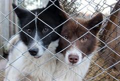 puppy(0.0), street dog(0.0), east siberian laika(0.0), greenland dog(0.0), border collie(1.0), dog breed(1.0), animal(1.0), dog(1.0), pet(1.0), karelian bear dog(1.0), mammal(1.0), animal shelter(1.0),