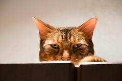 nose, animal, bengal, small to medium-sized cats, pet, mammal, fauna, close-up, cat, whiskers,