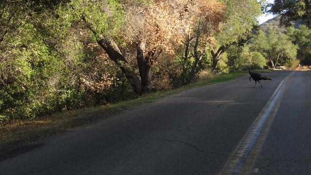 IMG_7041 turkeys paradise road santa barbara county
