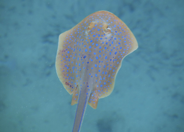Blue spotted Stingray, Coral Bay, Western Australia