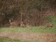 Family of Roe deer