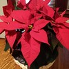Poinsettias in the Light