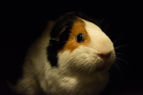 20150221-07_Guinea Pig_Cavy (Portrait Patch)