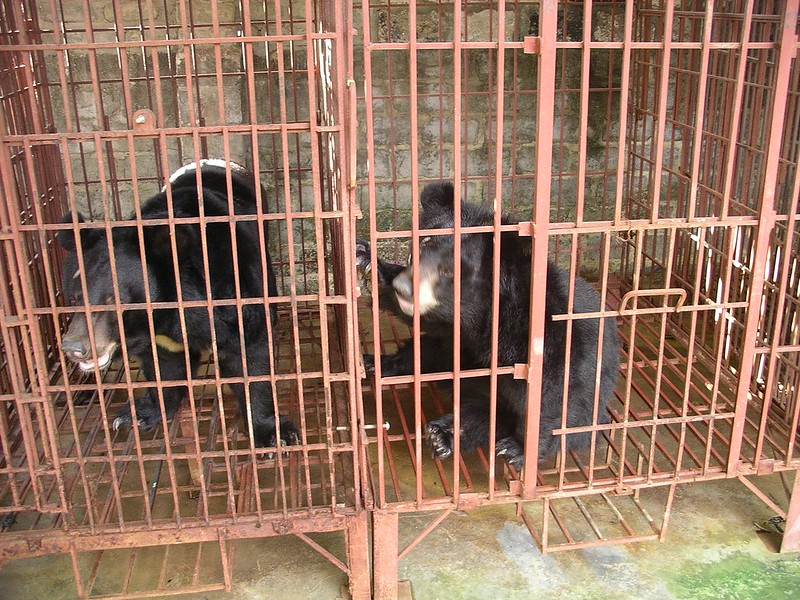 Bears languish on a bear bile farmin Vietnam's Binh Duong province, 2007 (4)