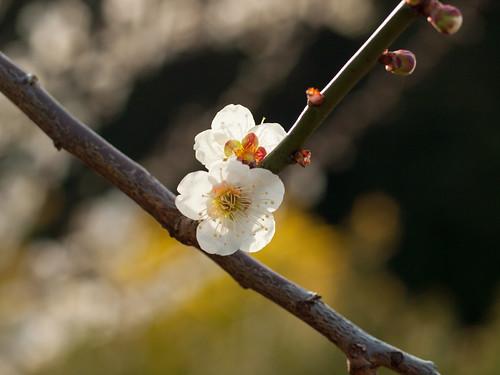 梅 [Ume] Japanese Apricot_2287738