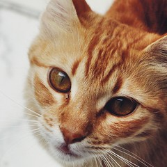 bengal(0.0), abyssinian(0.0), nose(1.0), animal(1.0), tabby cat(1.0), small to medium-sized cats(1.0), pet(1.0), snout(1.0), mammal(1.0), european shorthair(1.0), close-up(1.0), cat(1.0), whiskers(1.0), eye(1.0), domestic short-haired cat(1.0),