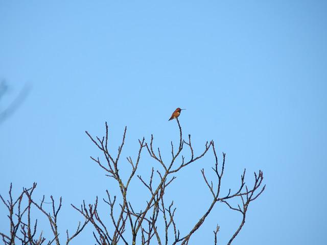 hummingbird at dawn
