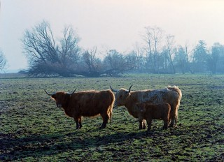 Free-ranging Cattle, Nivå Bugt