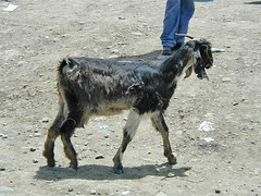 화, 01/20/2015 - 05:07 - Species name: Goat (photo credit: ILRI).