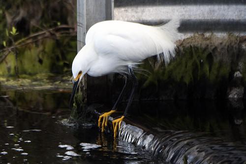 Merritt Island, FL: Snowy Egret