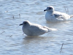Iceland Gull- Great Miami River-UD Arena- 2/15/2015