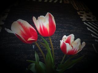 Tulips from garden