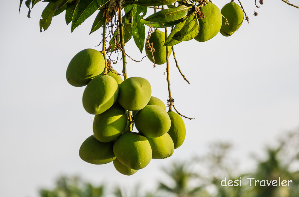 Raw Mangoes on tree