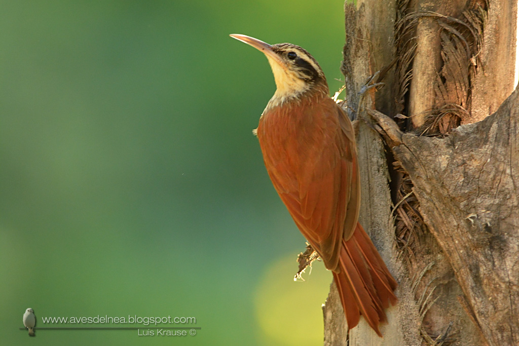Chinchero chico (Narrow-billed Woodcreeper) Lepidocolaptes angustirostris